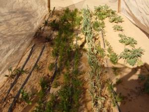 2007-04 Petit jardin de famille avec différents légumes en plein désert Sahara près de Tindouf