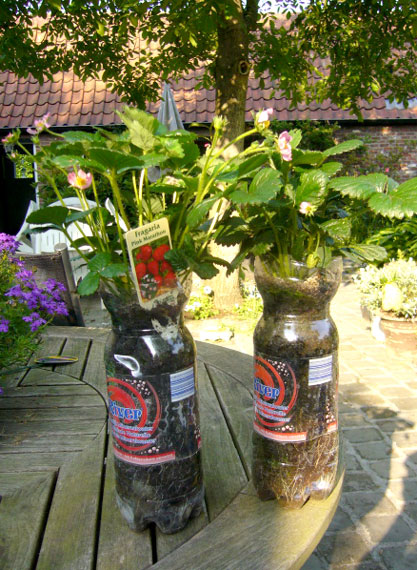 Production de fraises en bouteilles en plastique