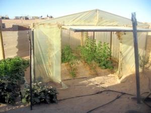 Camp de Smara (Tindouf, Algérie) - Petit jardin de famille avec serre de protection pour les tomates et les courgettes.  Divers légumes à l'extérieur.