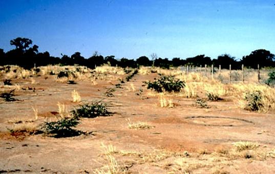 Crédit Photo: WVC 1988-12 - Jeunes arbres plantés en juillet 1988.  Ainsi débutait le projet de reboisement à Arbolle.  Le résultat en 1994 se voit dans la photo en haut.